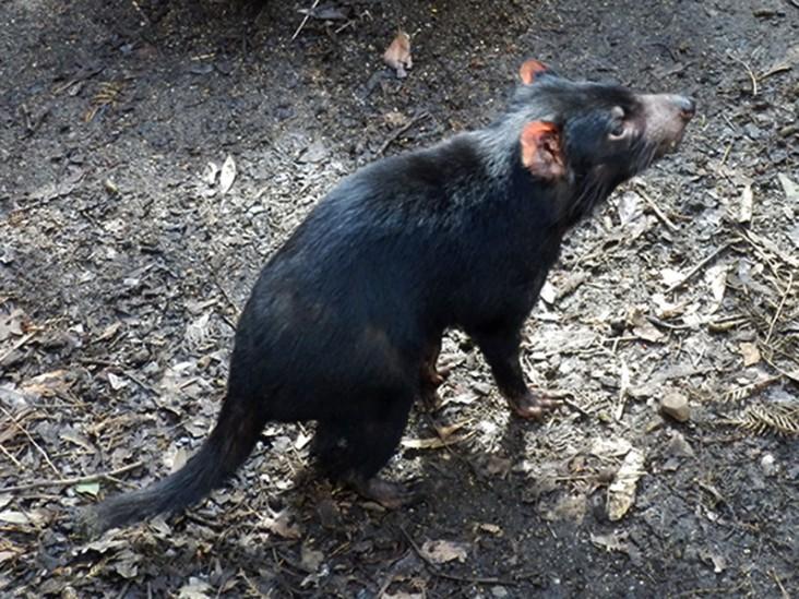 tasmaniandevil