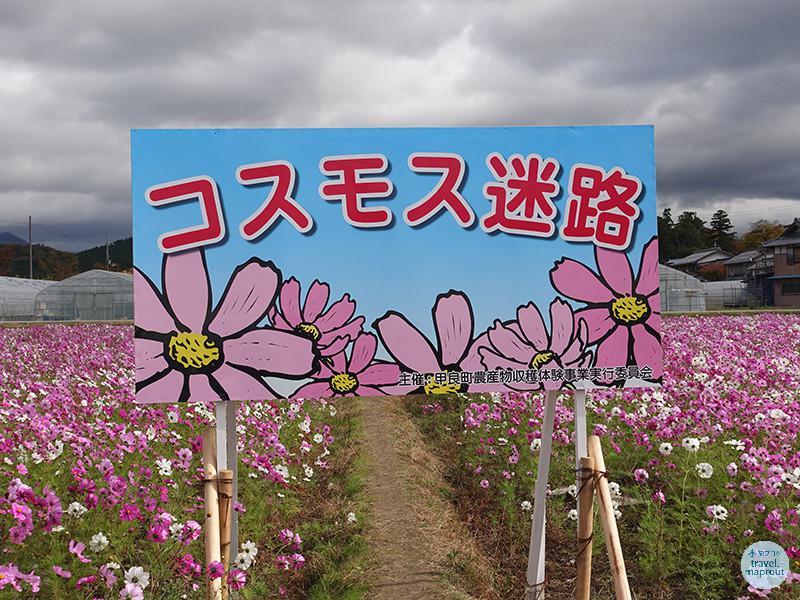 道の駅せせらぎの里こうらの前に一面のコスモス畑!(2016年はお休み)